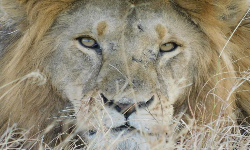http://theworklady.com/wp-content/uploads/2016/12/Lion-face.jpg
