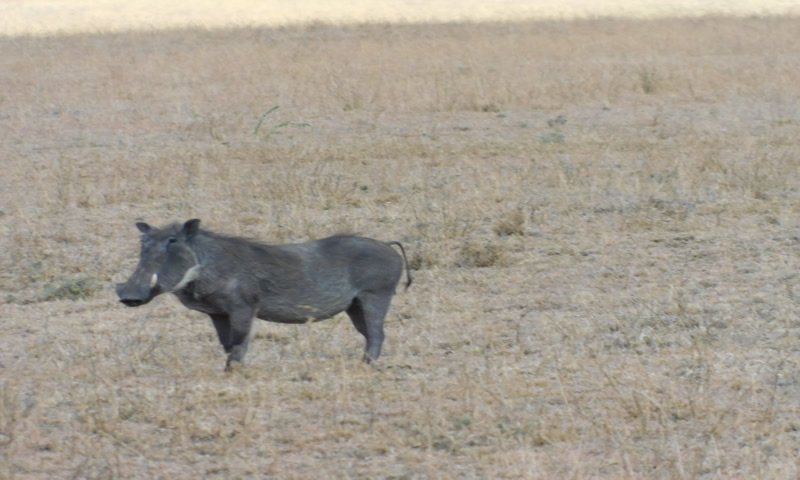 http://theworklady.com/wp-content/uploads/2016/12/Warthog-babies-follow-their-moms-tail-in-the-tall-grass.jpg