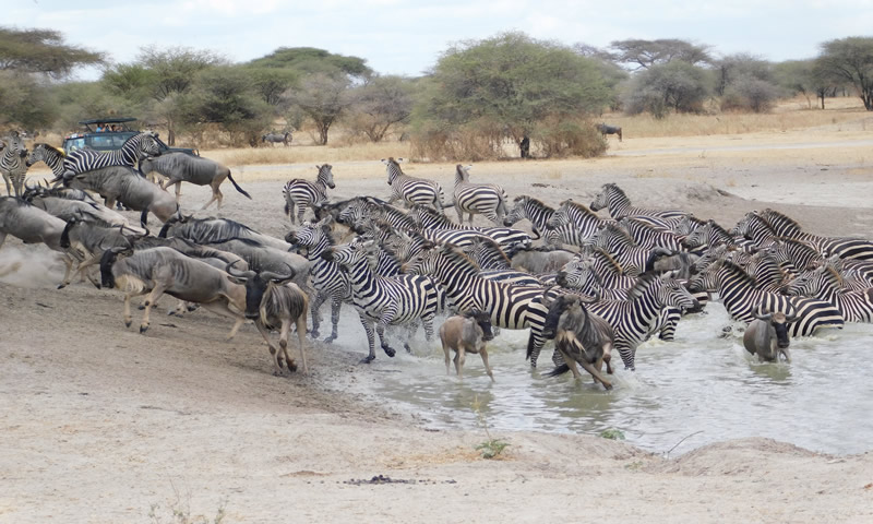 http://theworklady.com/wp-content/uploads/2016/12/Zebras-and-Wildebeasts-oh-my.jpg
