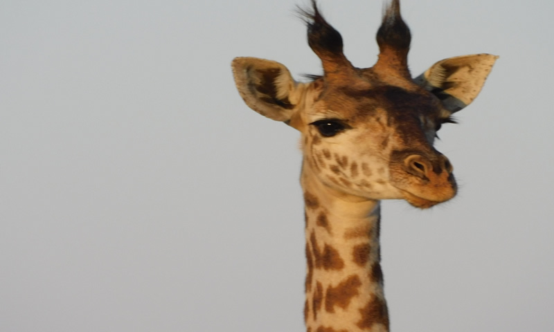 http://theworklady.com/wp-content/uploads/2016/12/giraffe-is-thinking-who-r-these-visitors-and-what-do-they-taste-like.jpg