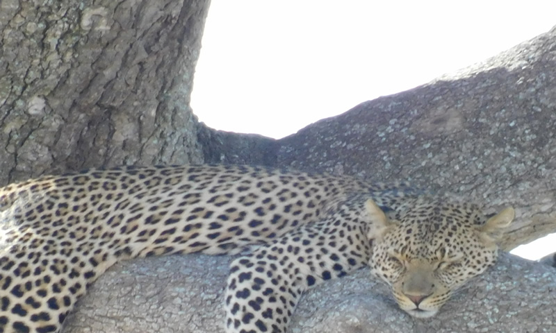 http://theworklady.com/wp-content/uploads/2016/12/leopards-are-beautiful-and-love-trees.jpg