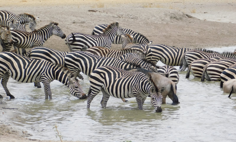 http://theworklady.com/wp-content/uploads/2016/12/more-zebras-and-wildebeasts-hanging-out.jpg