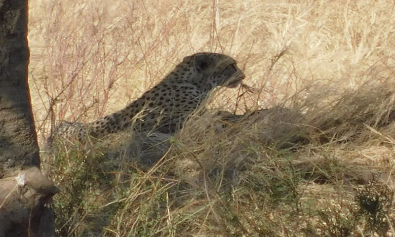 http://theworklady.com/wp-content/uploads/2016/12/the-Cheetah-trying-to-relax.jpg