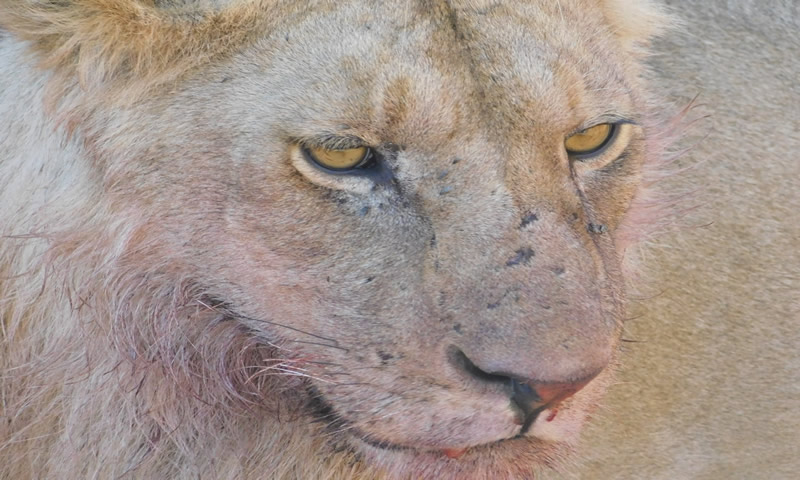 http://theworklady.com/wp-content/uploads/2016/12/up-close-with-a-lioness.jpg