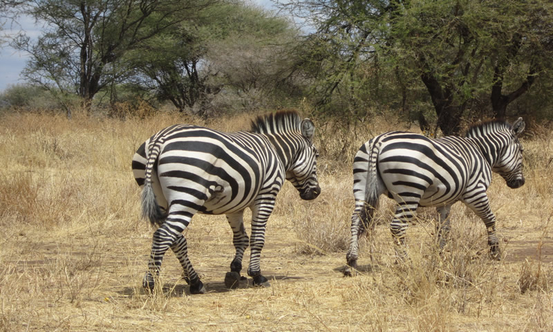 http://theworklady.com/wp-content/uploads/2016/12/zebras.-.-stripped-horses.jpg